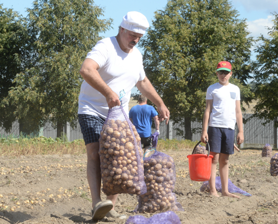 President of Belarus and his son collecting potatoes at their residence