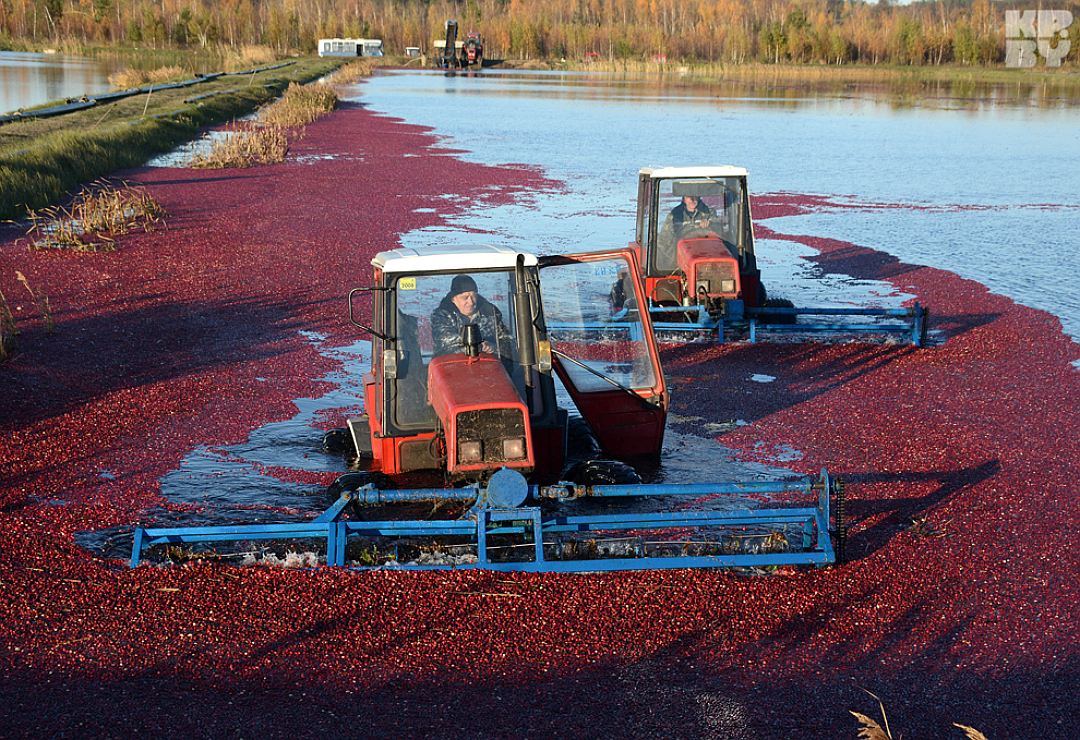 cranberry farm during harvest picking