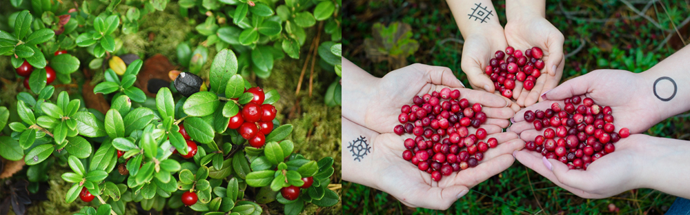 cowberries and cranberries