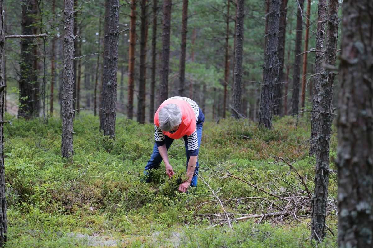 woman picks up blueberries in a forest