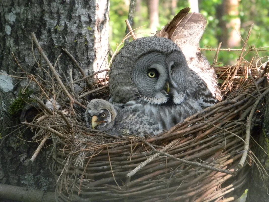 grey owl with its baby bird in the nest