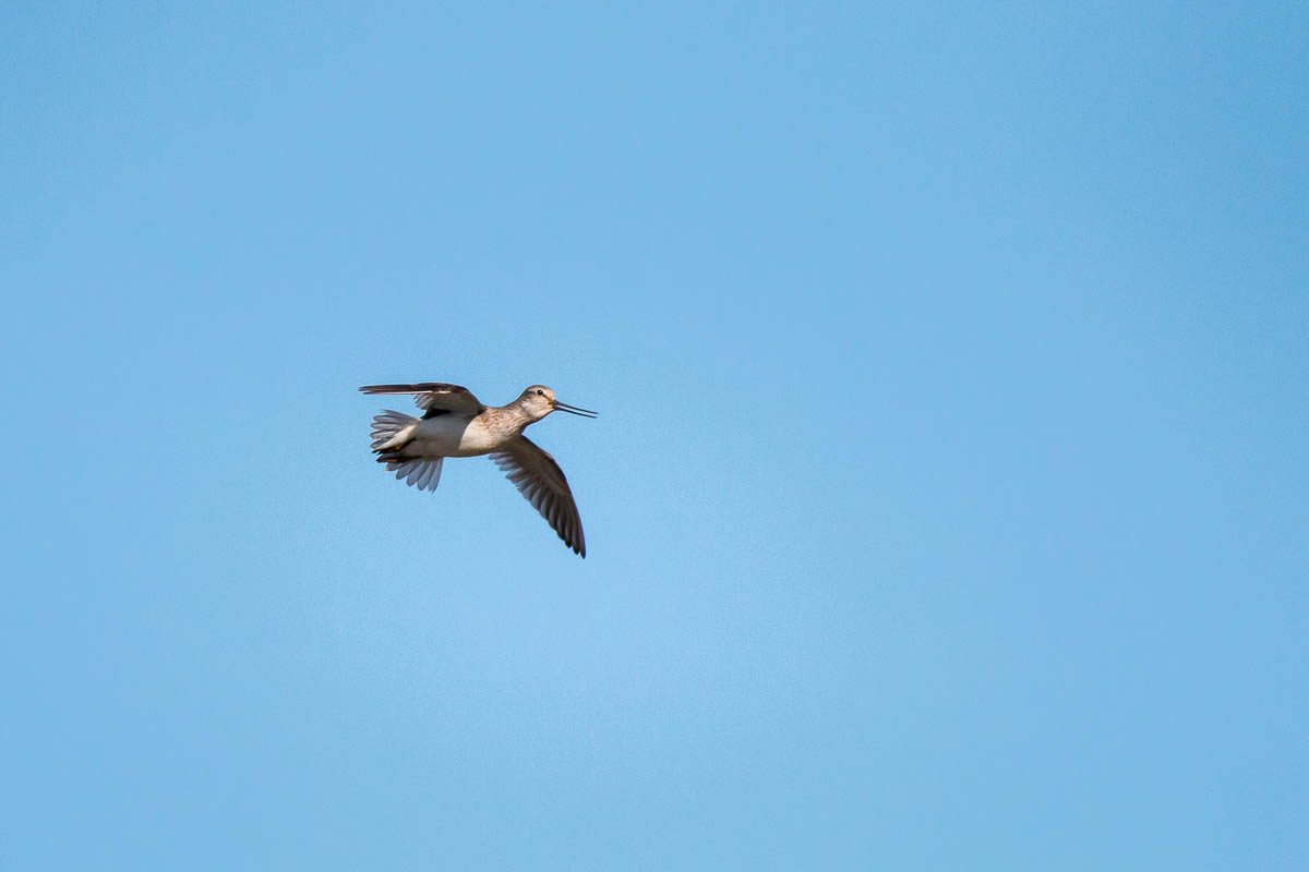 terek sandpiper in the sky